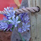 Agapanthus by May Lattanzio