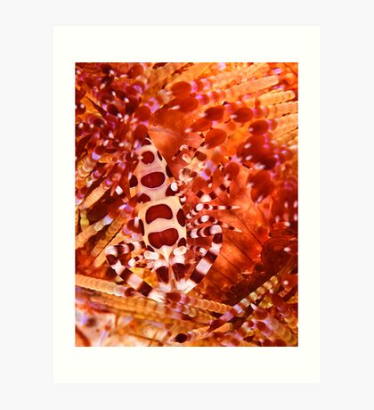 Coleman Shrimp on Fire Coral Art Print