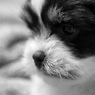 Puppy Chase by John Davies