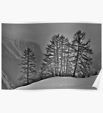 Larch Wood in Back Light Poster