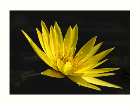 Yellow Waterlily, up close by cclaude