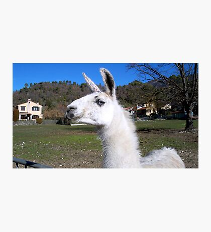 Graceful llama  Photographic Print