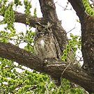 Great Horned Owl by Bellavista2