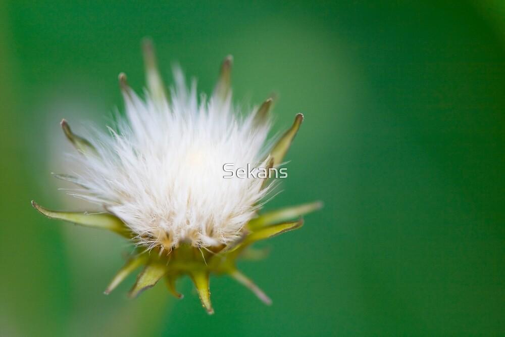 Dandelion by Sekans