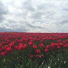 Skagit Valley Tulip Field by SavingMemories