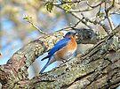 Bluebird by FrankieCat
