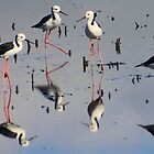 blackwinged stilts by Trish Threlfall