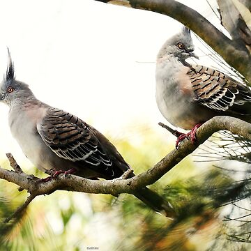Crested pigeons by retepk