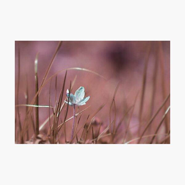 Wood anemone Photographic Print