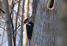 Pileated Woodpecker - Dryocopus Pileatus by Lynda   McDonald
