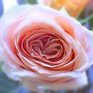 Soft Romantic Rose by Kasia-D