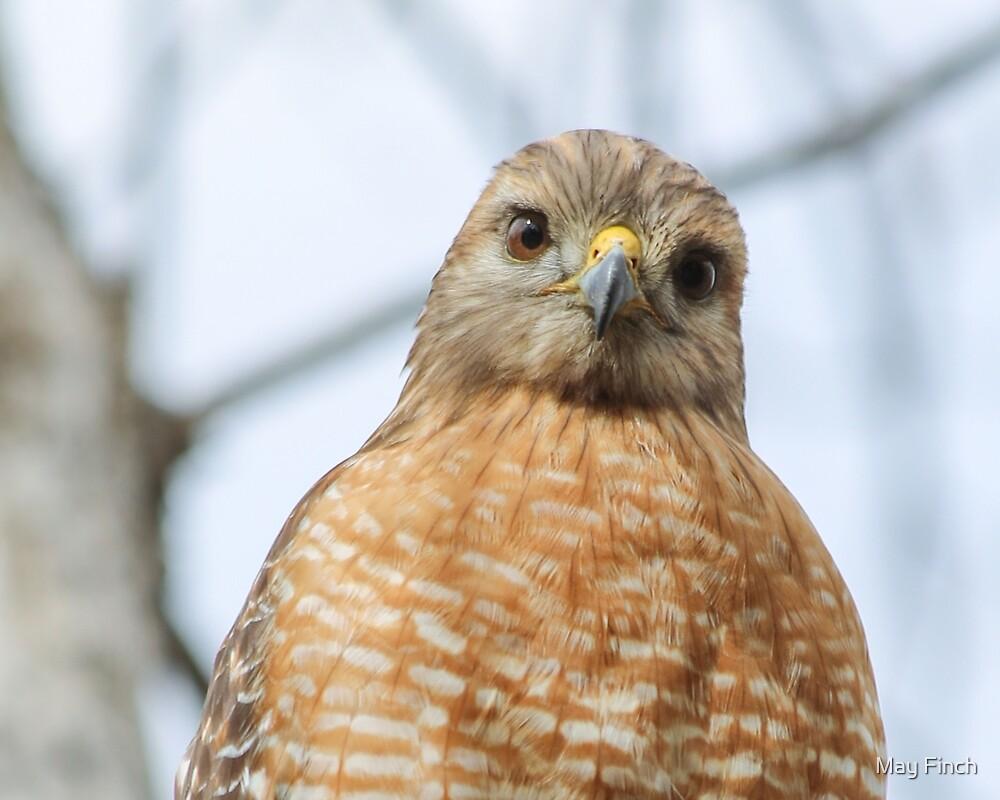 Friendly Hawk by May Finch