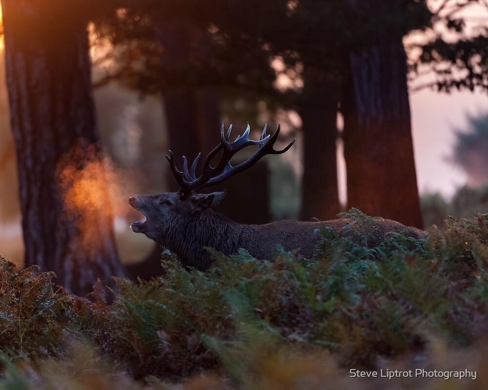 Red deer (Cervus elaphus) by Stephen Liptrot