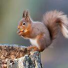 Red squirrel (Sciurus vulgaris) by Stephen Liptrot