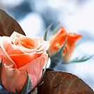 Roses in Winter by Kasia-D
