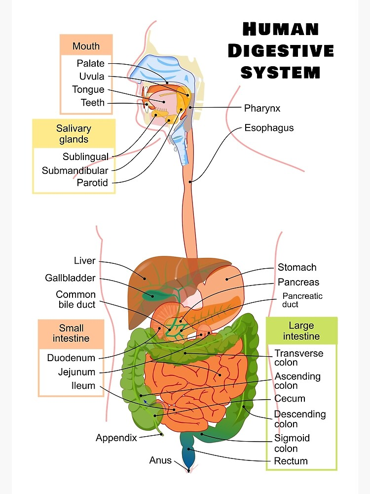 U0026quot Diagram Of The Human Digestive System U0026quot  Poster By Allhistory