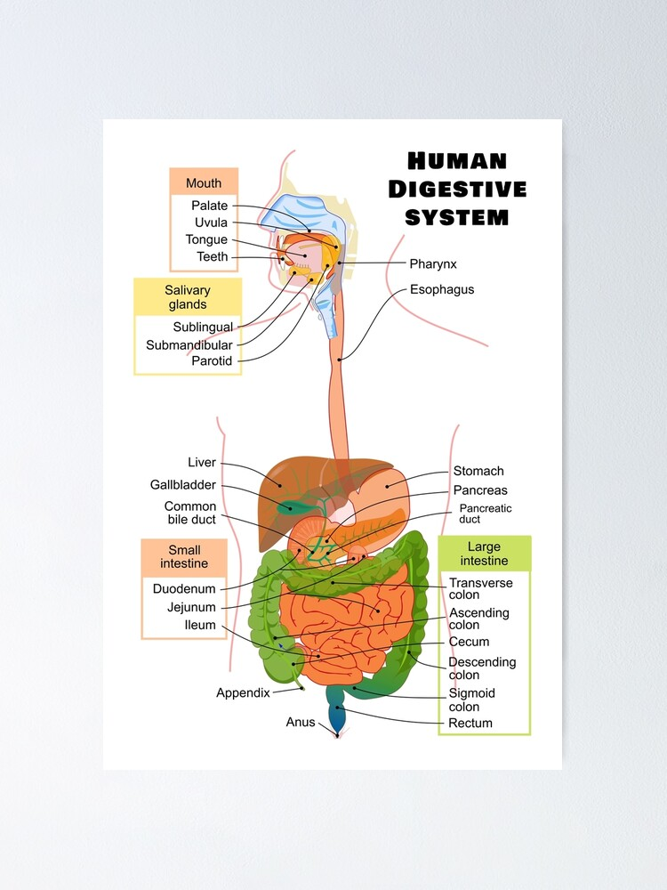 U0026quot Diagram Of The Human Digestive System U0026quot  Poster By
