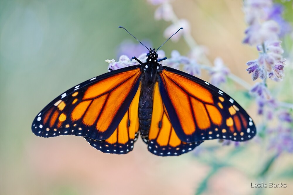 Monarch Butterfly by PixLifePhoto