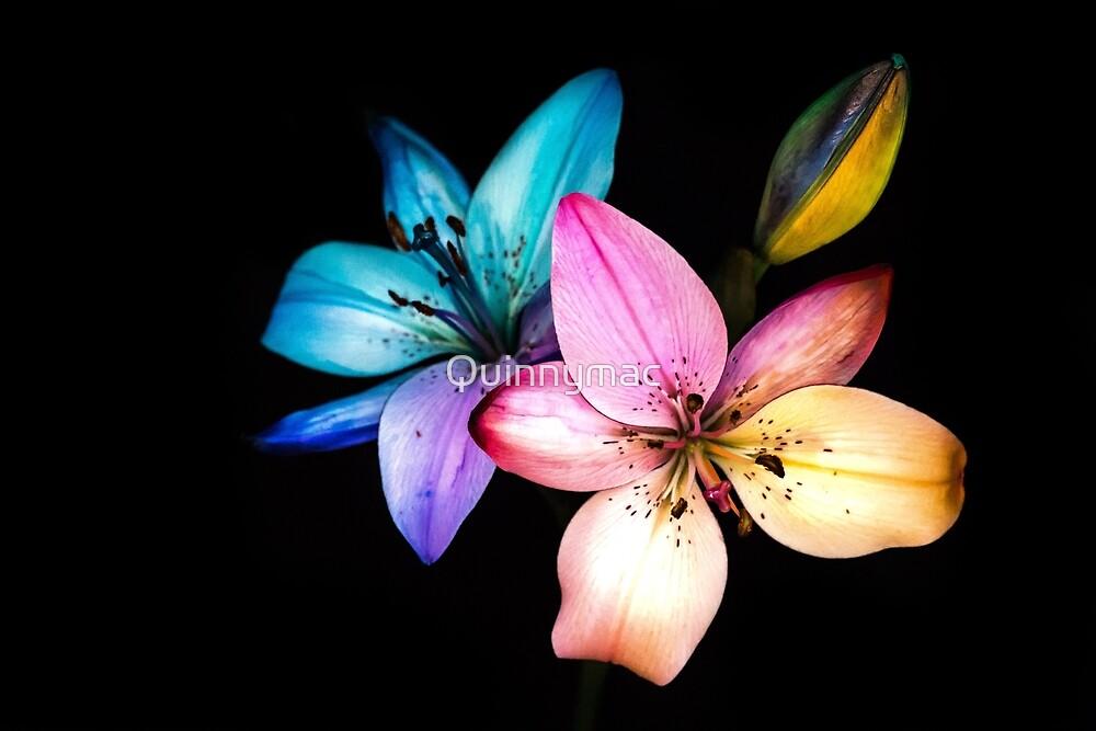 rainbow lillies by Quinnymac