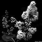 Meadowsweet ! by Elfriede Fulda