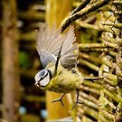 Blue Tit by Shaun Colin Bell