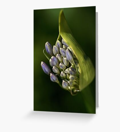 Agapanthus - Life Begins Greeting Card