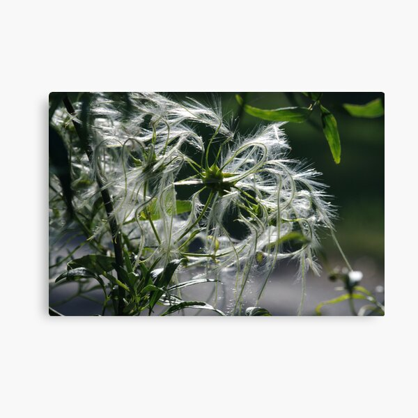 ~Clematis Seeds~ Canvas Print