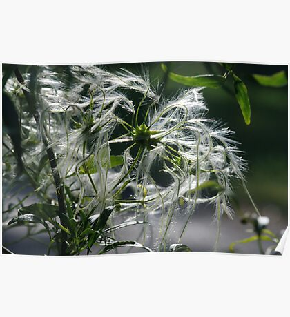 ~Clematis Seeds~ Poster