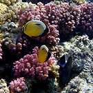 Butterflyfish And Raspberry Corals by hurmerinta