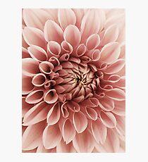 Erröten rosa Blume Dahlia Fotodruck