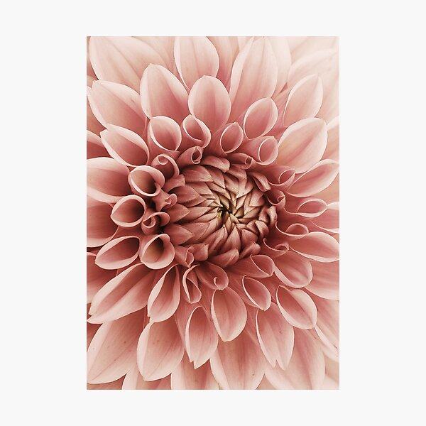 Blush pink flower Dahlia Photographic Print