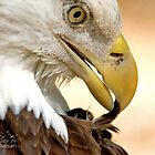 Bald Eagle Pruning by TJ Baccari Photography