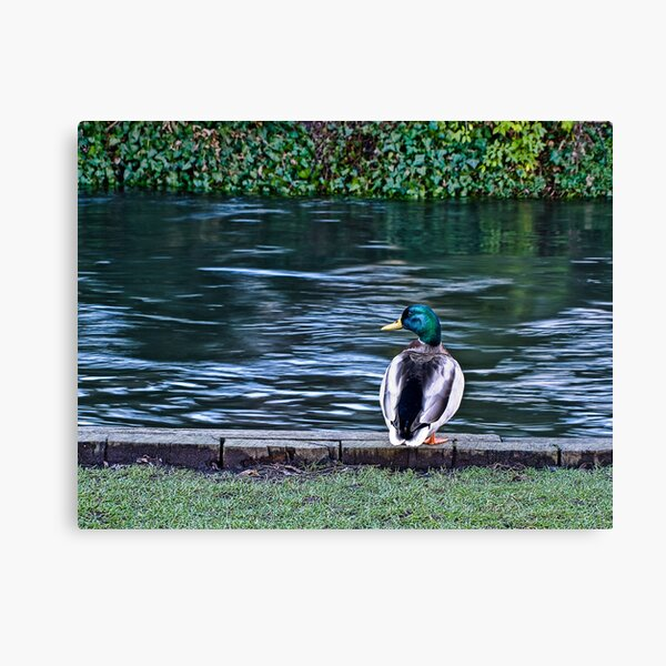 Duck on the River Itchen Canvas Print