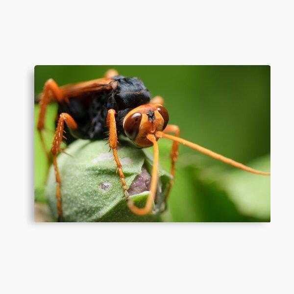 Orange Spider Wasp Canvas Print