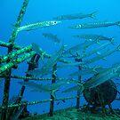 Barracudas by DiveDJ