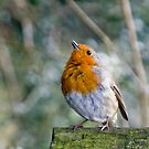 Winter Robin by dozzie
