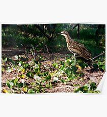 Bush Stone-curlew, (Burhinus grallarius), Conservation status in NSW: Endangered Poster