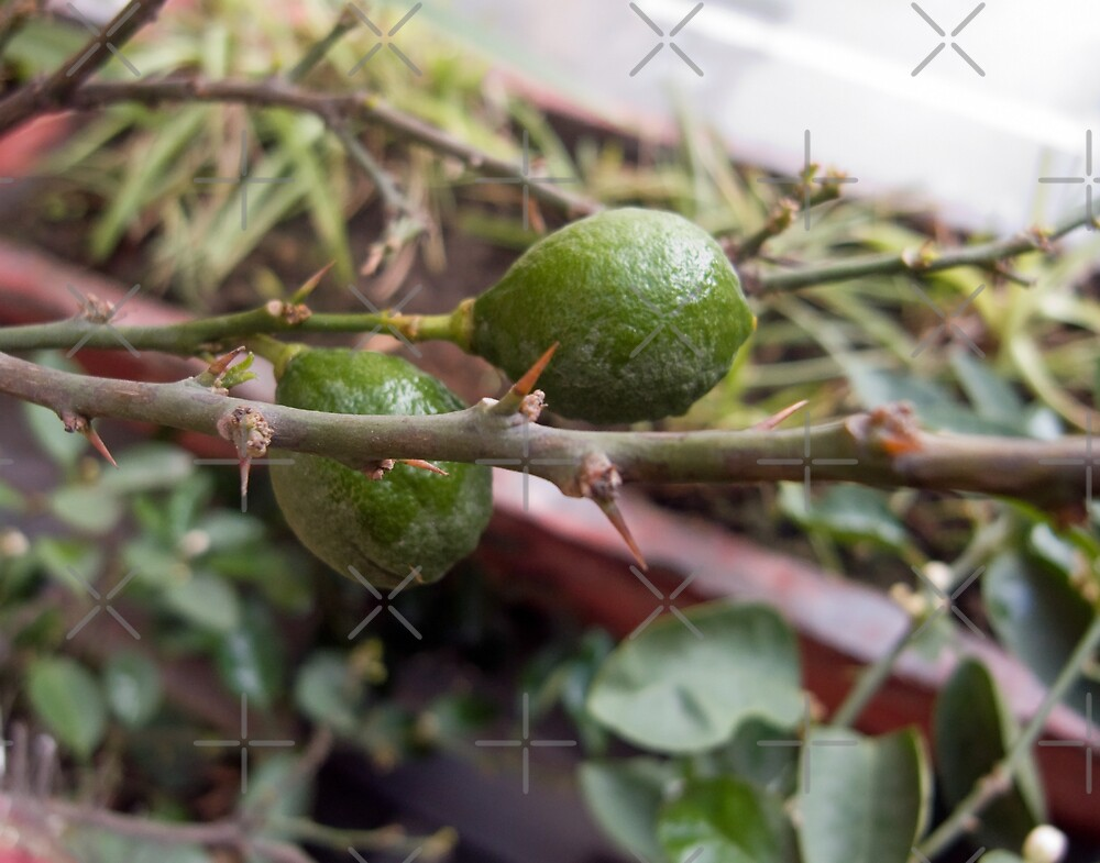 A couple of raw lemons along with the spikes on the plant by ashishagarwal74