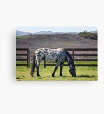 Spotted horse Canvas Print