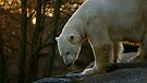 Polar Bear by Louise Fahy