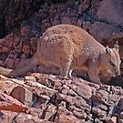 Short-eared Rock Wallaby Lake Argyle, Western Australia by Adrian Paul