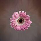 Single pink Gerbera Flower by Sara Sadler