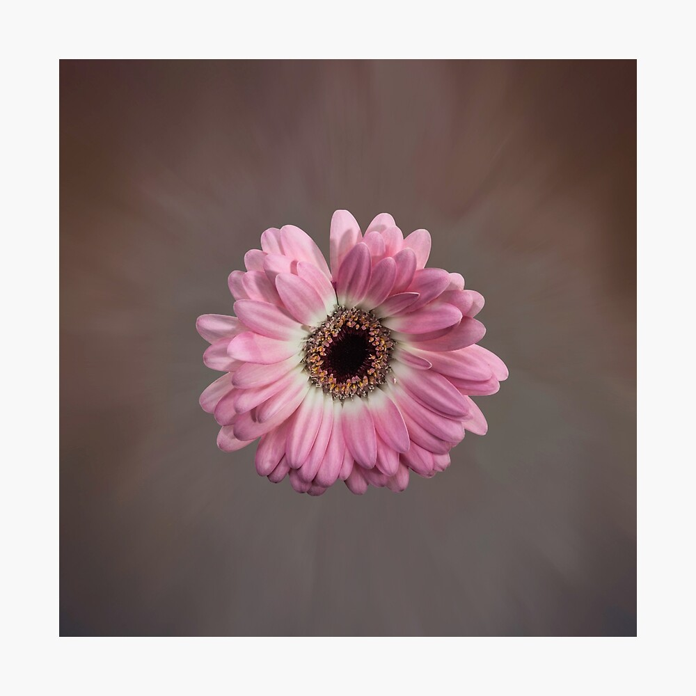 Single pink Gerbera Flower Photographic Print
