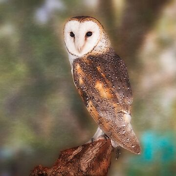 Chips the Barn Owl, Native Animal Rescue by MADCAT