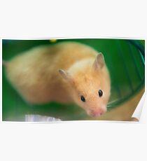 Hamster Face Poster