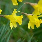 Daffodil  by Trisaratopsies