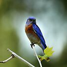 Blue Bird Pose by DARRIN ALDRIDGE
