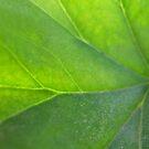 Green Leaf Closeup by emele