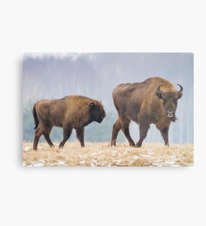 Cow and a calf Metal Print
