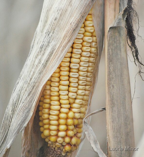 Field Corn Awaiting Harvest  by Laurie Minor